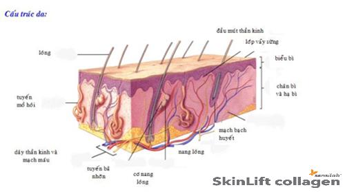 Cấu trúc da nam giới skinLift collagen chống lão hóa da