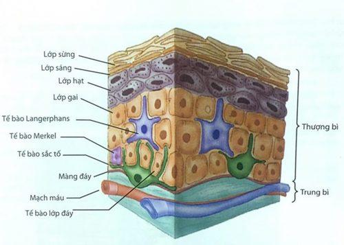 Tìm hiểu về cấu trúc da nám và biện pháp phòng ngừa nám da hiệu quả